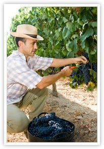 Wine maker harvesting grapes