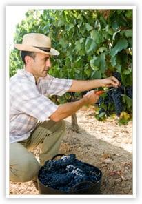 Wine maker harvesting grapes
